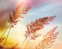 Sunset - dusk in grass meadow, beautiful high grass - beautiful nature. Sunset - dusk in grass meadow, beautiful high grass and grass seed Royalty Free Stock Photo