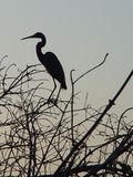 Sunset Egret. Royalty Free Stock Images