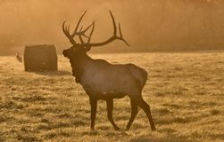 Sunset Elk Bull Stock Photography