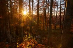 Sunset in the forest. Sunset in the enchanted forest, sun in the frame Royalty Free Stock Photography