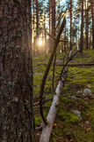 Sunset. Evening in the pine forest. Royalty Free Stock Images