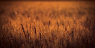 Sunset falling on wheat field. During late summer day Royalty Free Stock Photo