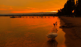 Sunset with the fantastic color over the lake Leman. With beautiful swan and ducks. Lausanne Switzerland stock images