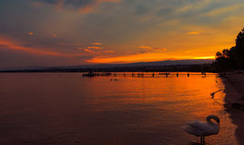 Sunset with the fantastic color over the lake Leman. With beautiful swan. Lausanne Switzerland stock images