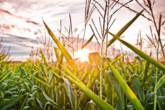 Sunset in a field Stock Photo
