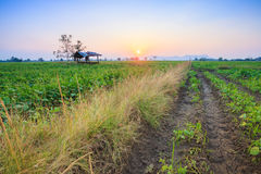 Sunset at field. In Thailand Stock Images