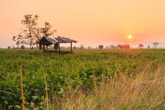 Sunset at field. In Thailand Royalty Free Stock Photos