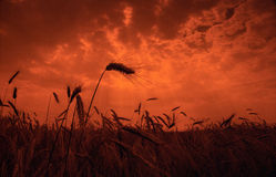 Sunset  field. Field of grain in sunset Royalty Free Stock Image