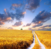 Sunset at field. Sunset at wheat field with clouds Royalty Free Stock Image
