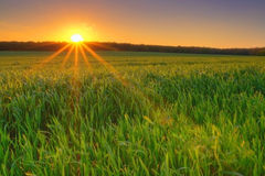 Sunset in the field Royalty Free Stock Image