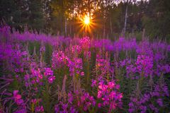 Sunset in the field of flowers Royalty Free Stock Photos