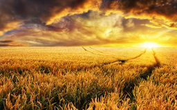 Sunset on a field, focus on foreground plants Royalty Free Stock Images