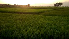 Sunset. A field of fully grown rice and paddy Royalty Free Stock Photography