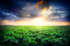 Sunset in field with green leaves Stock Image