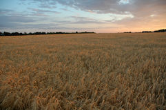Sunset on field. Sunset on harvested barley field stock photography