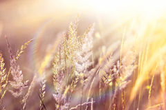 Sunset in a field of high grass Royalty Free Stock Photos