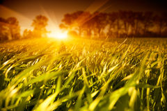Sunset field landscape. With sun rays Royalty Free Stock Photo