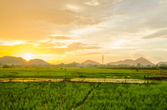 Sunset with field rice Royalty Free Stock Photos