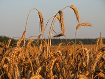 Sunset on the field with a rich harvest of ripe wheat. royalty free stock photo