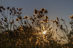 Sunset in the field. Sunshine through the sow thistle spinney. Highlighted fluffy heads of the flowers look unusual Royalty Free Stock Photo