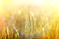 Sunset in a field of wheat Stock Photo