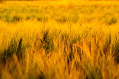 Sunset on the field of wheat. Royalty Free Stock Images