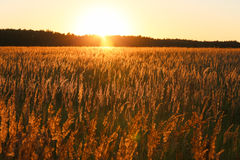 Sunset and field of yellow grass. Golden light Royalty Free Stock Photos