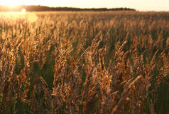 Sunset and field of yellow grass. Golden light Stock Images