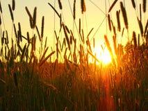 Sunset in the fields. Grass ear spike Stock Photo