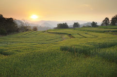 Sunset at fields of barley Royalty Free Stock Photos