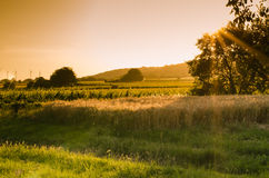 Sunset at fields. Sunset at rye field image royalty free stock photo