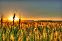 SUNSET FIELDS Stock Photos
