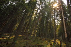 Sunset in the fir forest Royalty Free Stock Photography