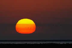 Sunset with flamingos in the Camargue. Sunset in the Camargue with flamingos in flight in front of the sun Royalty Free Stock Photos