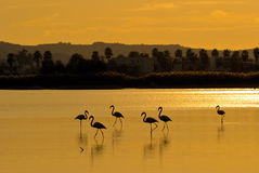 Sunset with flamingos Royalty Free Stock Photo