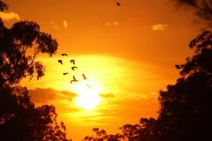 Sunset Flight of Birds. Sunset birds flying is birds in a flight of freedom and inspiration towards a vibrant bright sun against an beautiful orange sunset sky Royalty Free Stock Photo