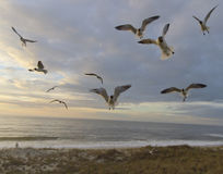 Sunset Flight of Seagulls Royalty Free Stock Image