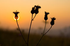Sunset Flower. Sun setting behind a flower silhouette Royalty Free Stock Images