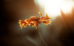 Sunset flower Stock Photography