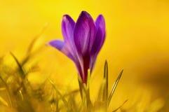 Sunset  flower crocus Stock Photo