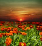 Sunset flower field. Orange sunset over flower field Royalty Free Stock Images