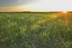 Sunset flower field Stock Images