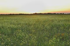 Sunset flower field Royalty Free Stock Image