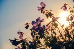 Sunset flowers. Purple flowers in sunset backlight Stock Image