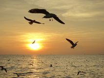 Sunset. Fly bird sky nature seagull Thailand view background Stock Image