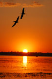 Sunset and flying cranes Stock Photos