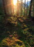 Sunset in forest Stock Images