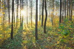 Sunset in the forest Royalty Free Stock Photos