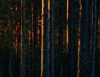 Sunset in the forest Royalty Free Stock Photography