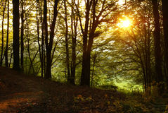 Sunset in a forest Stock Images